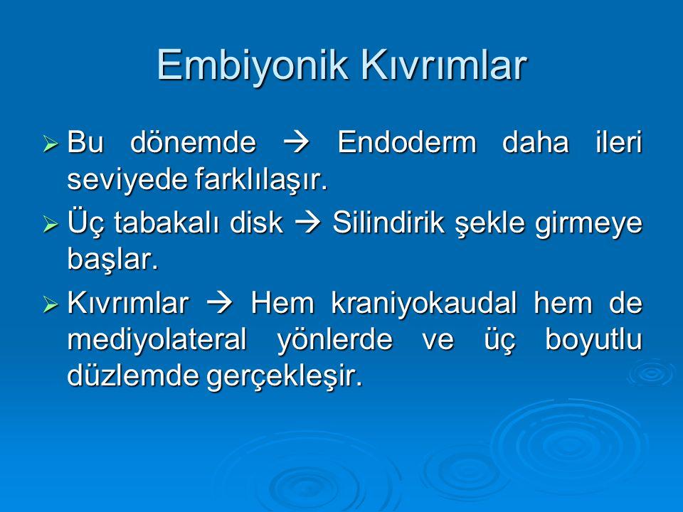 Embiyonik Kıvrımlar Bu dönemde  Endoderm daha ileri seviyede farklılaşır. Üç tabakalı disk  Silindirik şekle girmeye başlar.