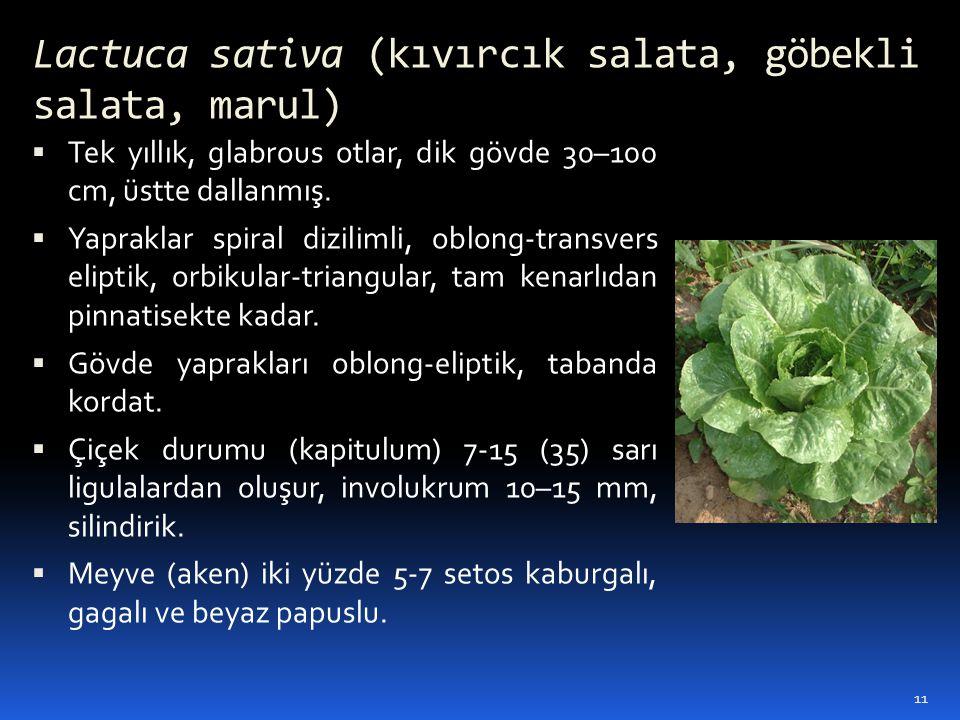 Lactuca sativa (kıvırcık salata, göbekli salata, marul)