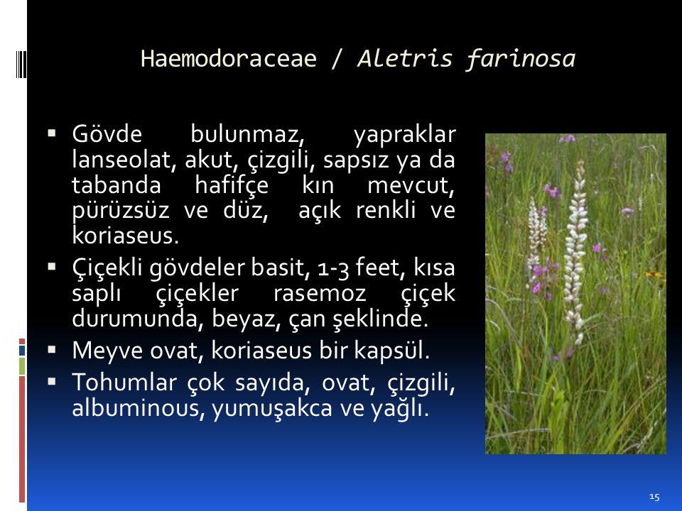Haemodoraceae / Aletris farinosa