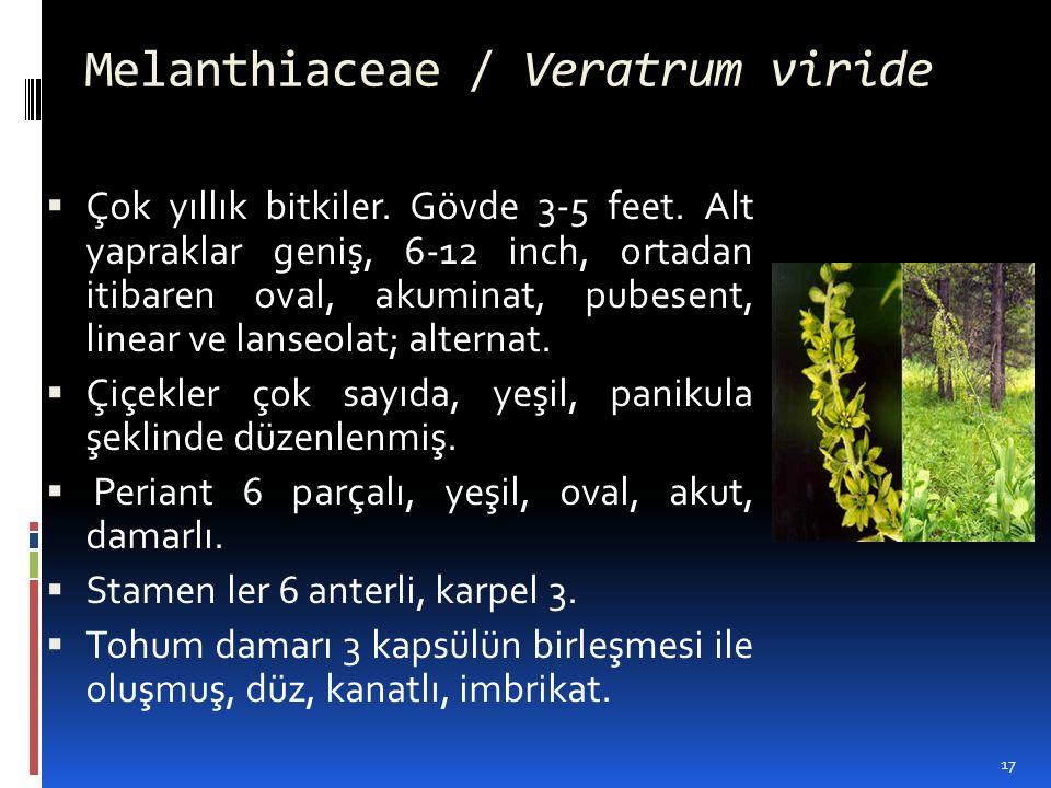 Melanthiaceae / Veratrum viride