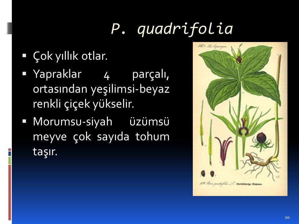P. quadrifolia Çok yıllık otlar.
