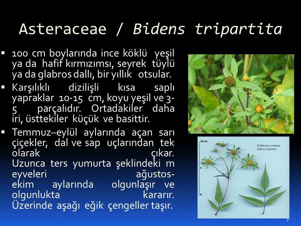 Asteraceae / Bidens tripartita
