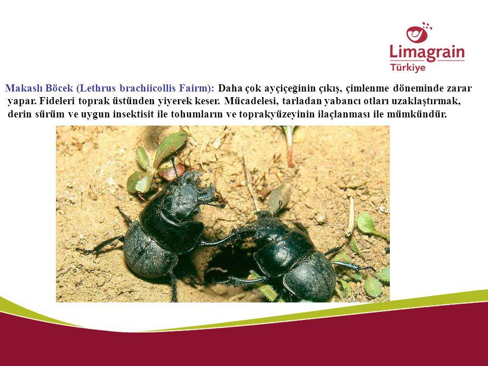 Makaslı Böcek (Lethrus brachiicollis Fairm): Daha çok ayçiçeğinin çıkış, çimlenme döneminde zarar