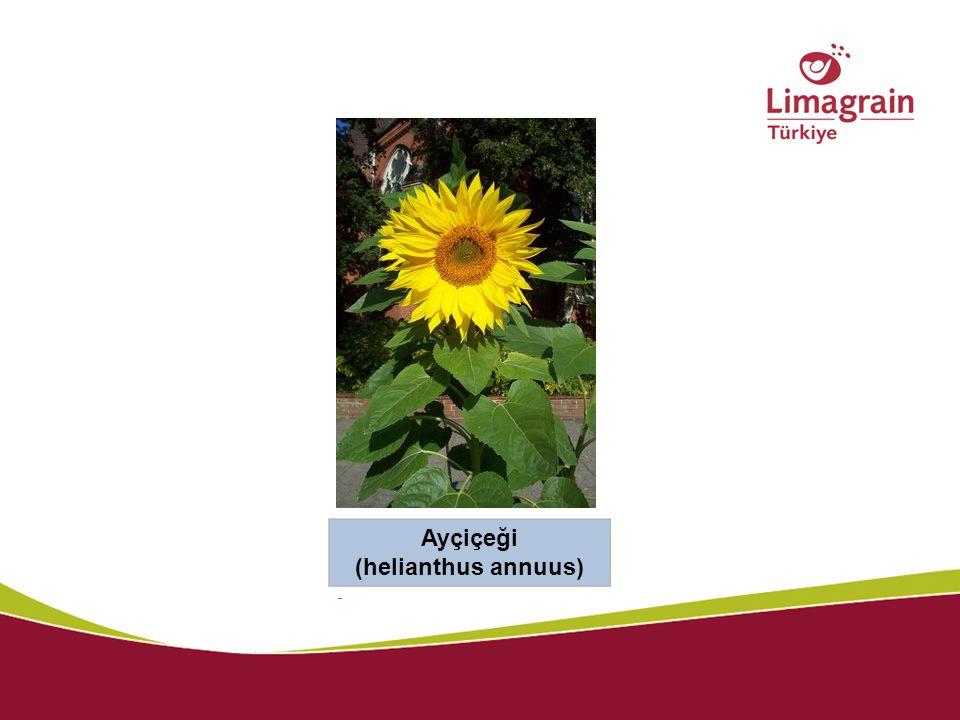 Ayçiçeği (helianthus annuus)