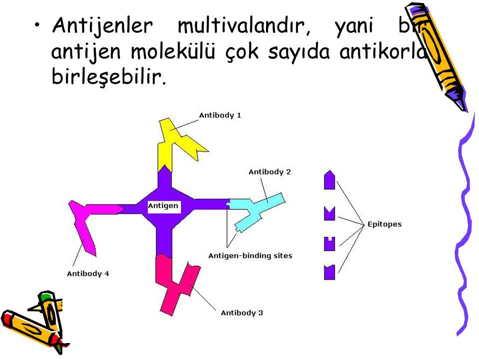 Antijenler multivalandır, yani bir antijen molekülü çok sayıda antikorla birleşebilir.