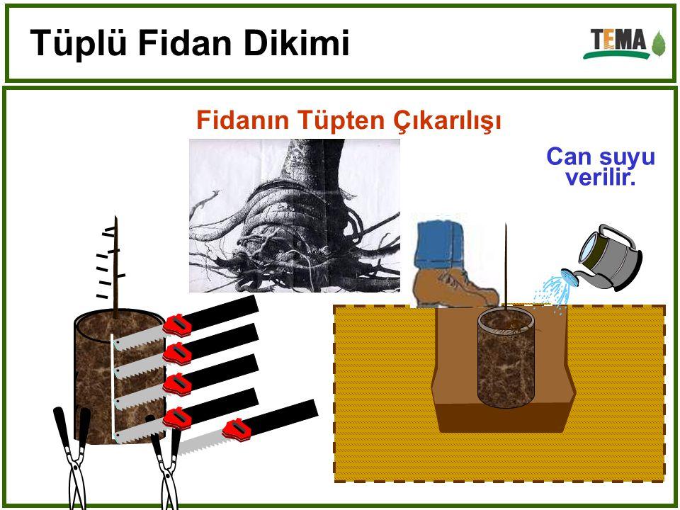 Tüplü Fidan Dikimi Fidanın Tüpten Çıkarılışı Can suyu verilir.