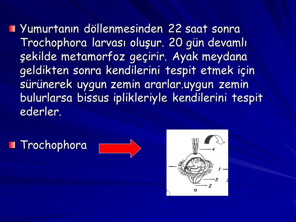 Yumurtanın döllenmesinden 22 saat sonra Trochophora larvası oluşur