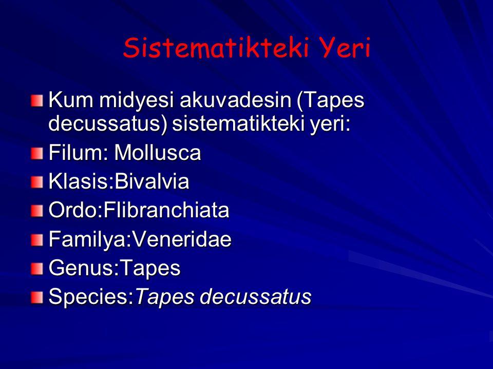Sistematikteki Yeri Kum midyesi akuvadesin (Tapes decussatus) sistematikteki yeri: Filum: Mollusca.