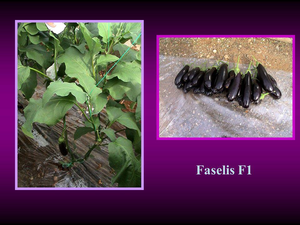 Faselis F1