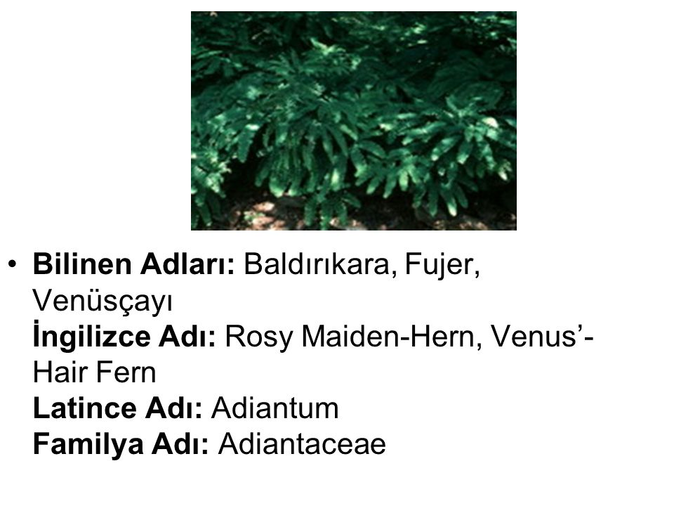 Bilinen Adları: Baldırıkara, Fujer, Venüsçayı İngilizce Adı: Rosy Maiden-Hern, Venus'-Hair Fern Latince Adı: Adiantum Familya Adı: Adiantaceae