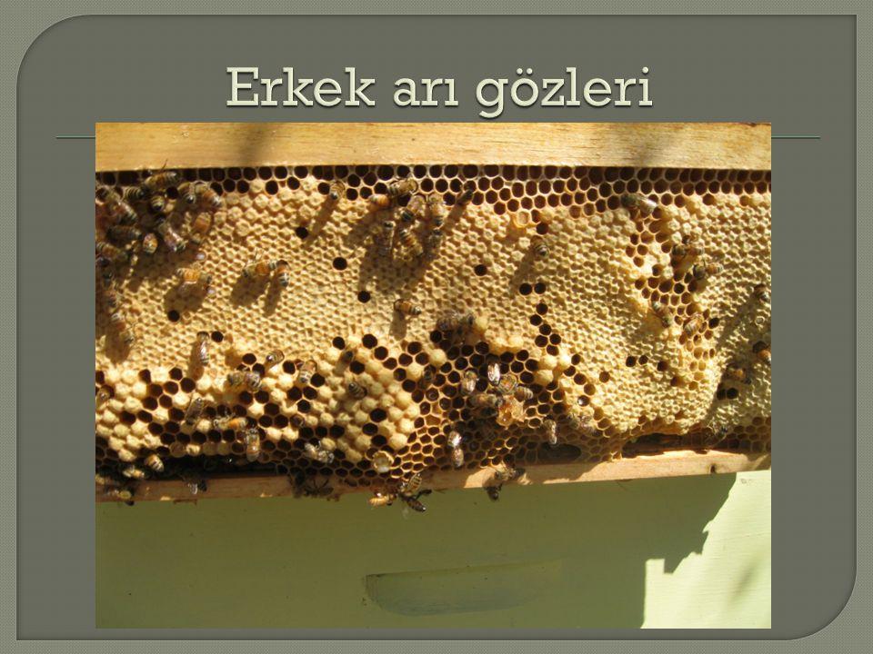 Erkek arı gözleri