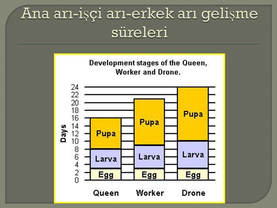 Ana arı-işçi arı-erkek arı gelişme süreleri