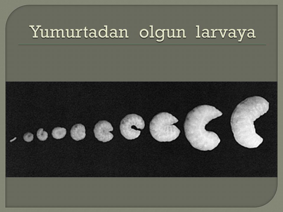 Yumurtadan olgun larvaya