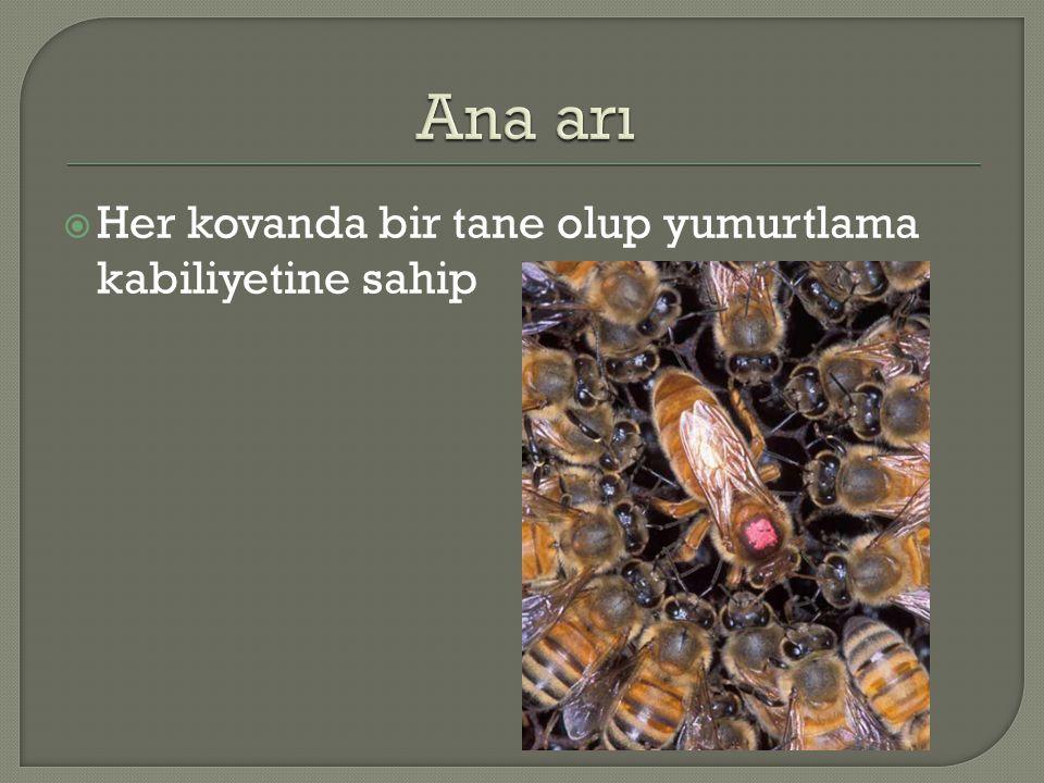 Ana arı Her kovanda bir tane olup yumurtlama kabiliyetine sahip