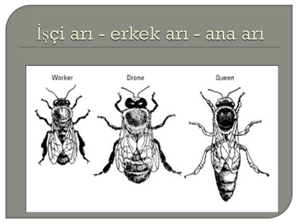 İşçi arı - erkek arı - ana arı