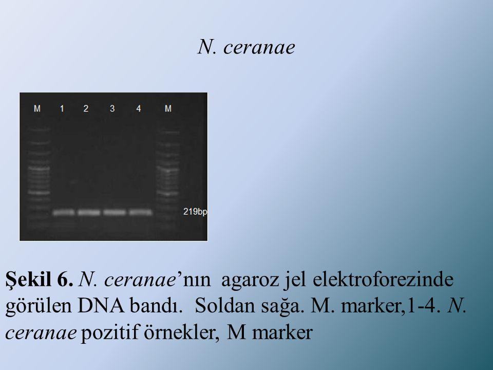 N. ceranae Şekil 6. N. ceranae'nın agaroz jel elektroforezinde görülen DNA bandı.