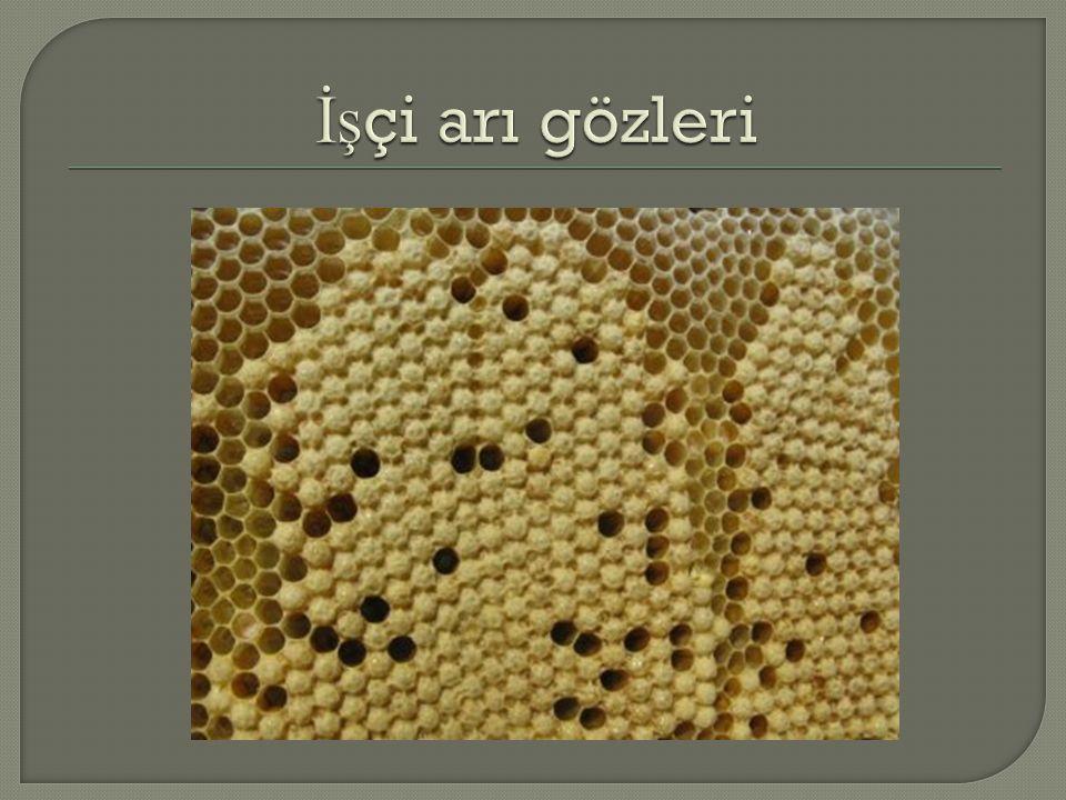 İşçi arı gözleri
