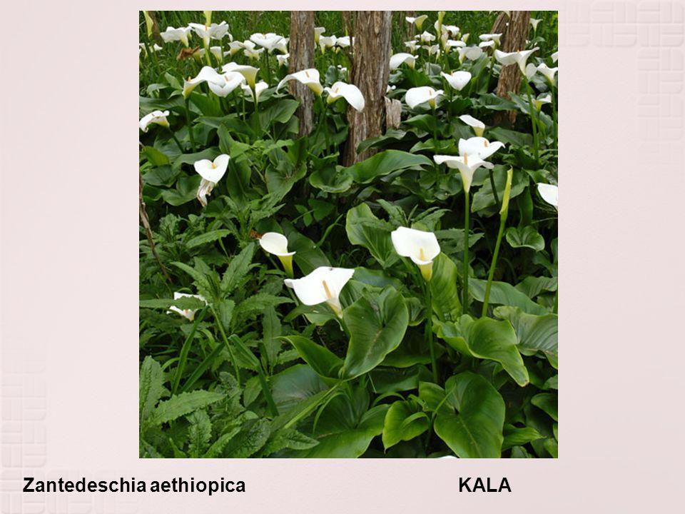 Zantedeschia aethiopica KALA