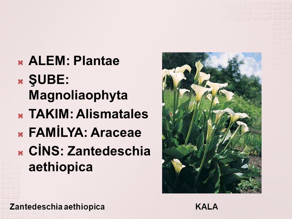 CİNS: Zantedeschia aethiopica