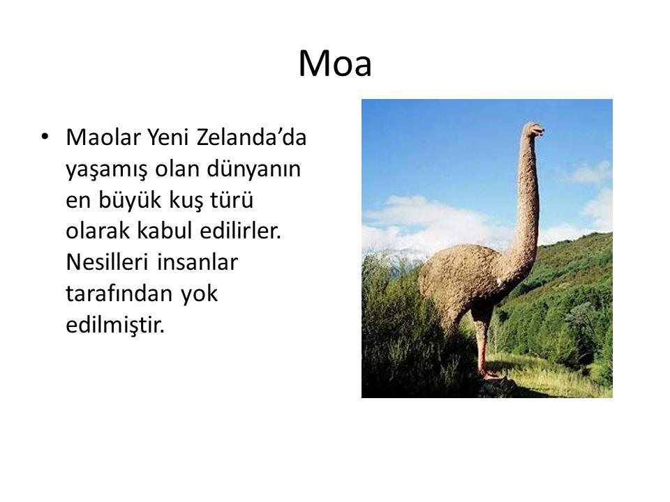Moa Maolar Yeni Zelanda'da yaşamış olan dünyanın en büyük kuş türü olarak kabul edilirler.