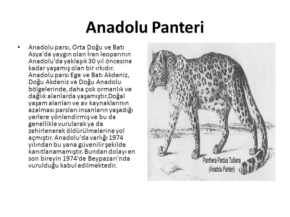 Anadolu Panteri