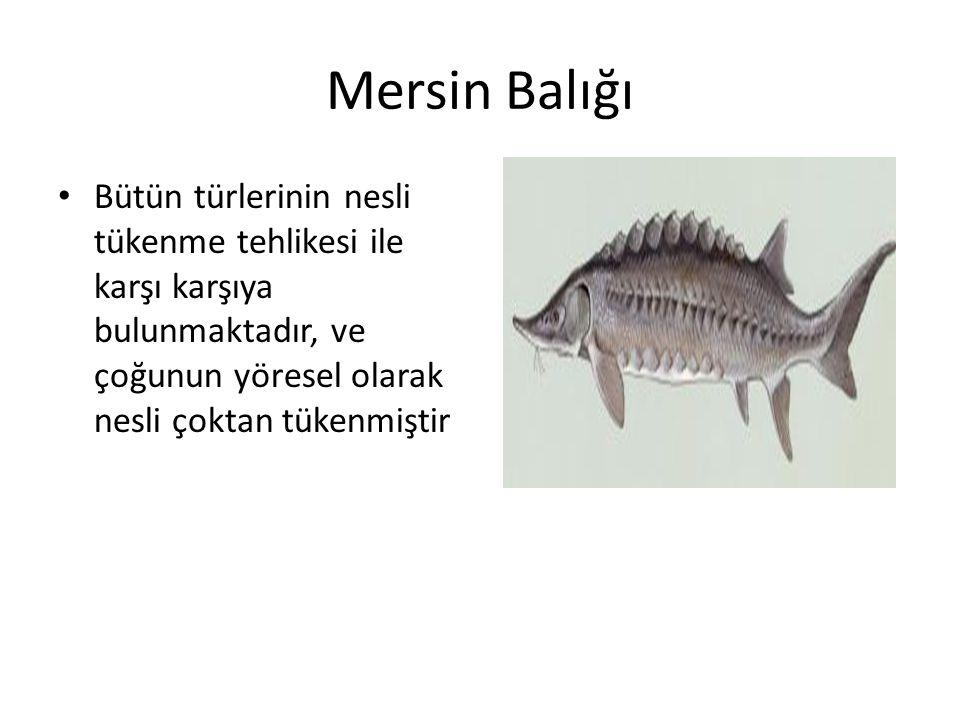 Mersin Balığı Bütün türlerinin nesli tükenme tehlikesi ile karşı karşıya bulunmaktadır, ve çoğunun yöresel olarak nesli çoktan tükenmiştir.