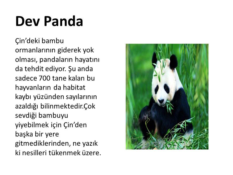 Dev Panda