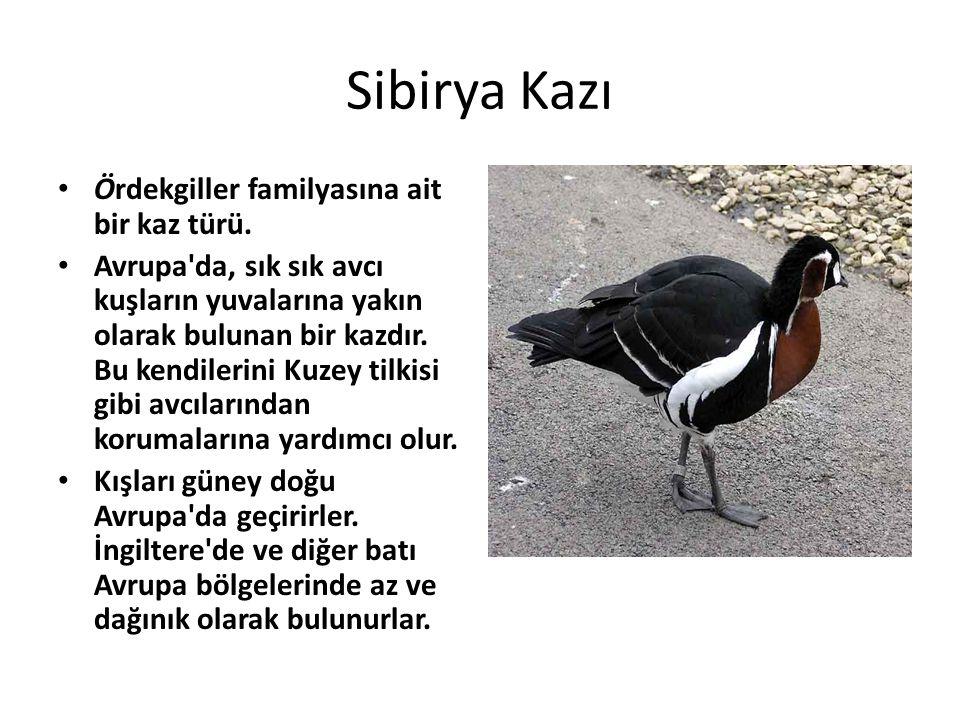 Sibirya Kazı Ördekgiller familyasına ait bir kaz türü.