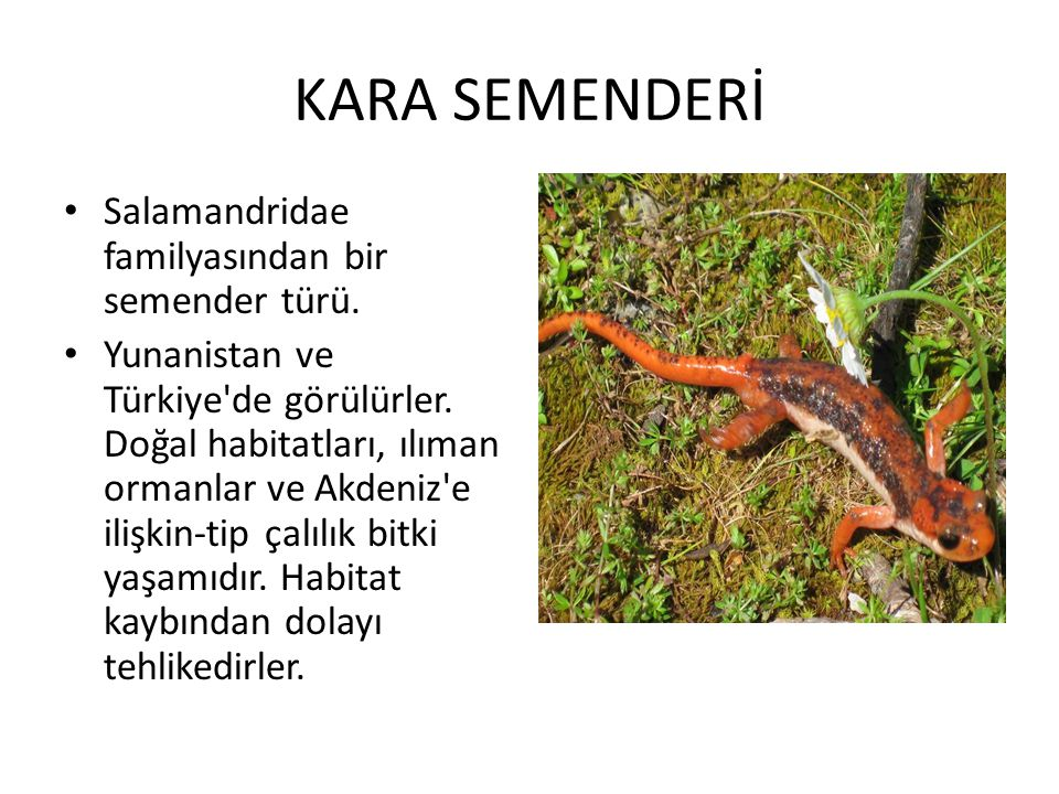 KARA SEMENDERİ Salamandridae familyasından bir semender türü.