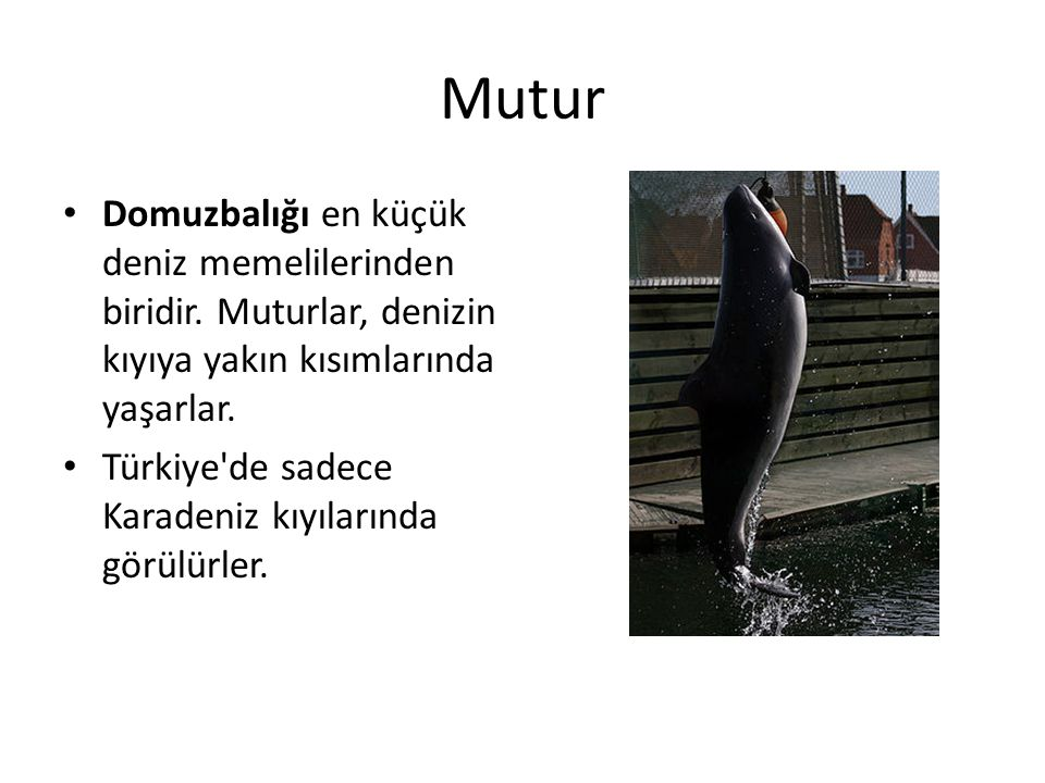 Mutur Domuzbalığı en küçük deniz memelilerinden biridir. Muturlar, denizin kıyıya yakın kısımlarında yaşarlar.