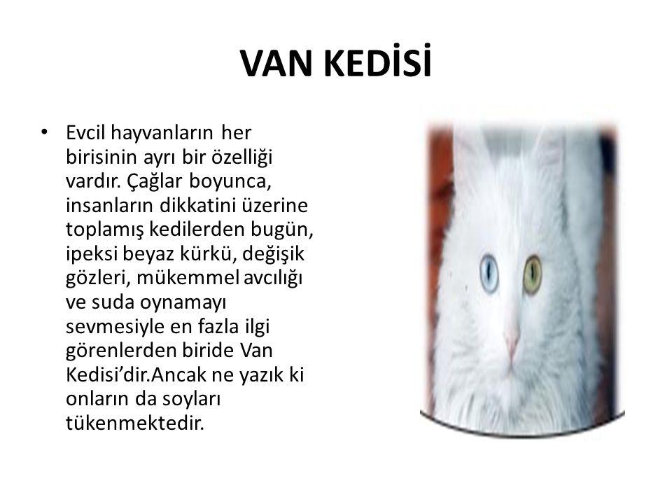 VAN KEDİSİ