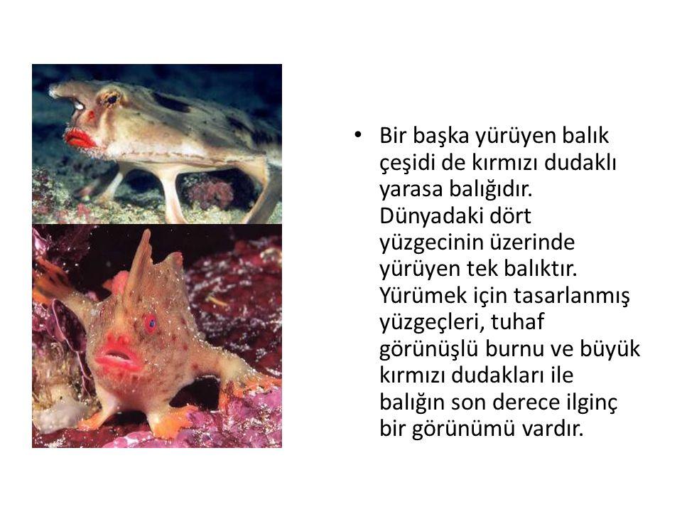 Bir başka yürüyen balık çeşidi de kırmızı dudaklı yarasa balığıdır