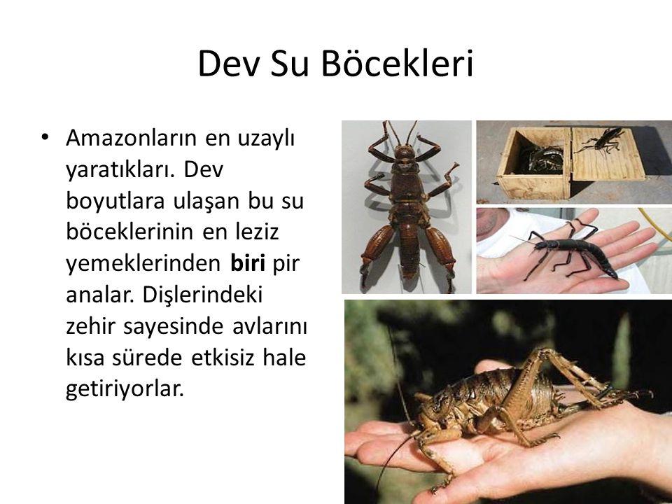 Dev Su Böcekleri