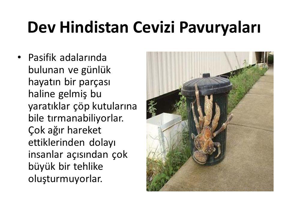 Dev Hindistan Cevizi Pavuryaları