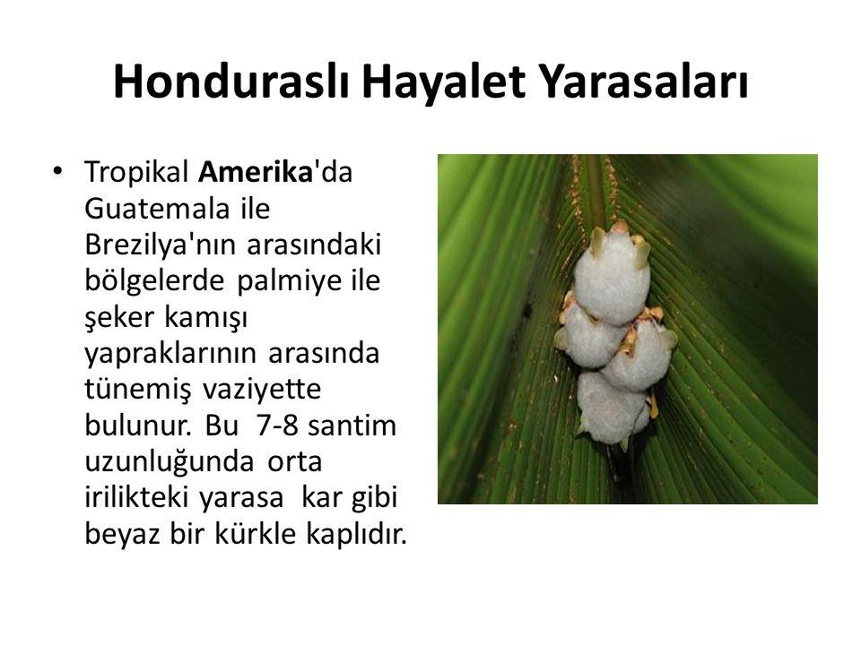 Honduraslı Hayalet Yarasaları
