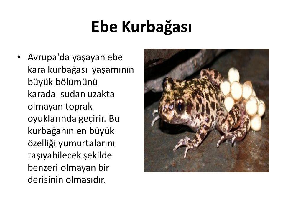 Ebe Kurbağası