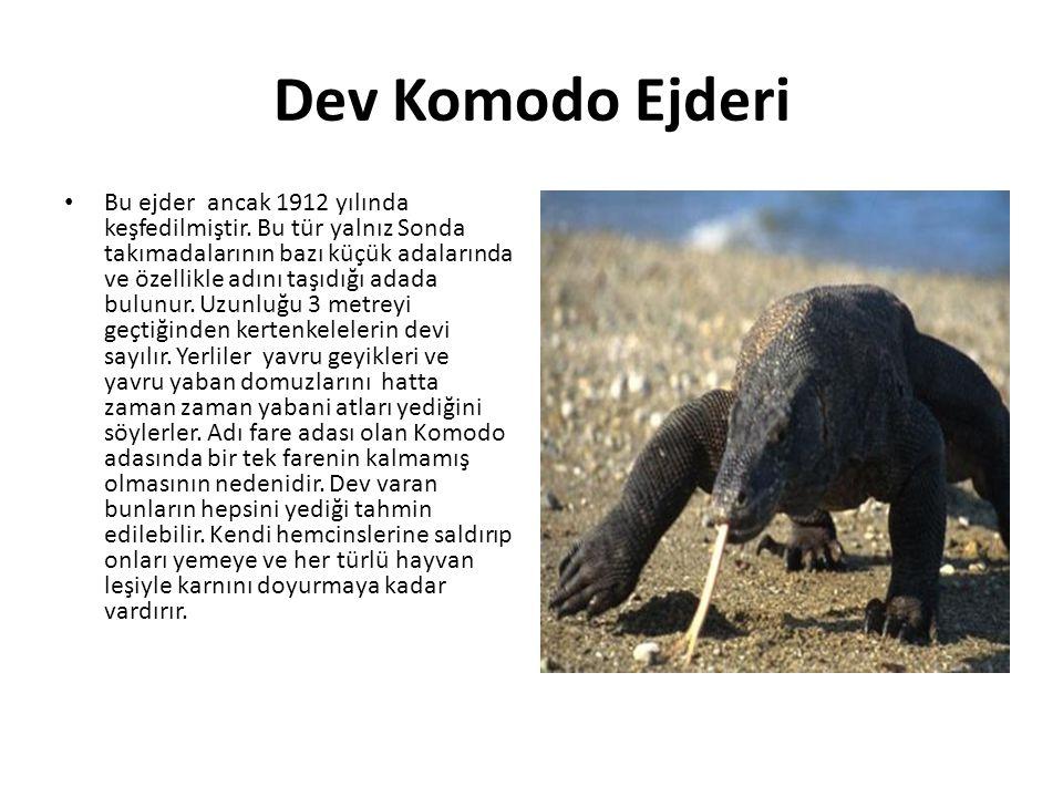 Dev Komodo Ejderi