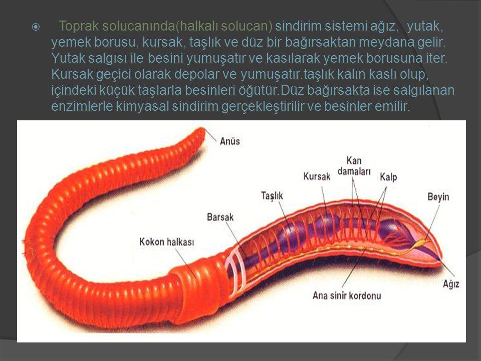 Toprak solucanında(halkalı solucan) sindirim sistemi ağız, yutak, yemek borusu, kursak, taşlık ve düz bir bağırsaktan meydana gelir.