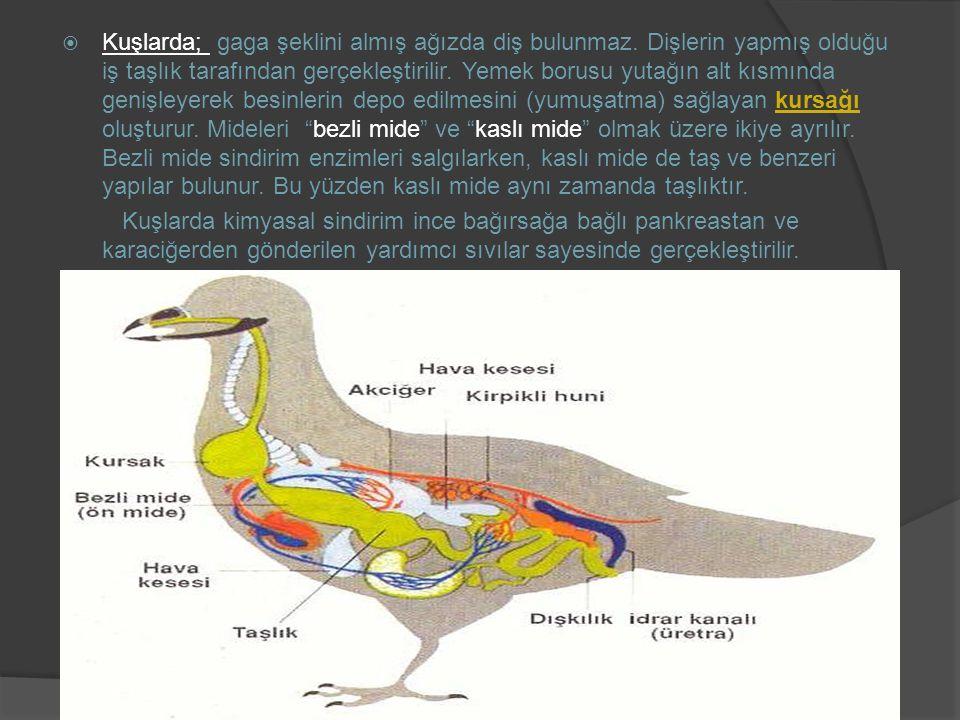 Kuşlarda; gaga şeklini almış ağızda diş bulunmaz