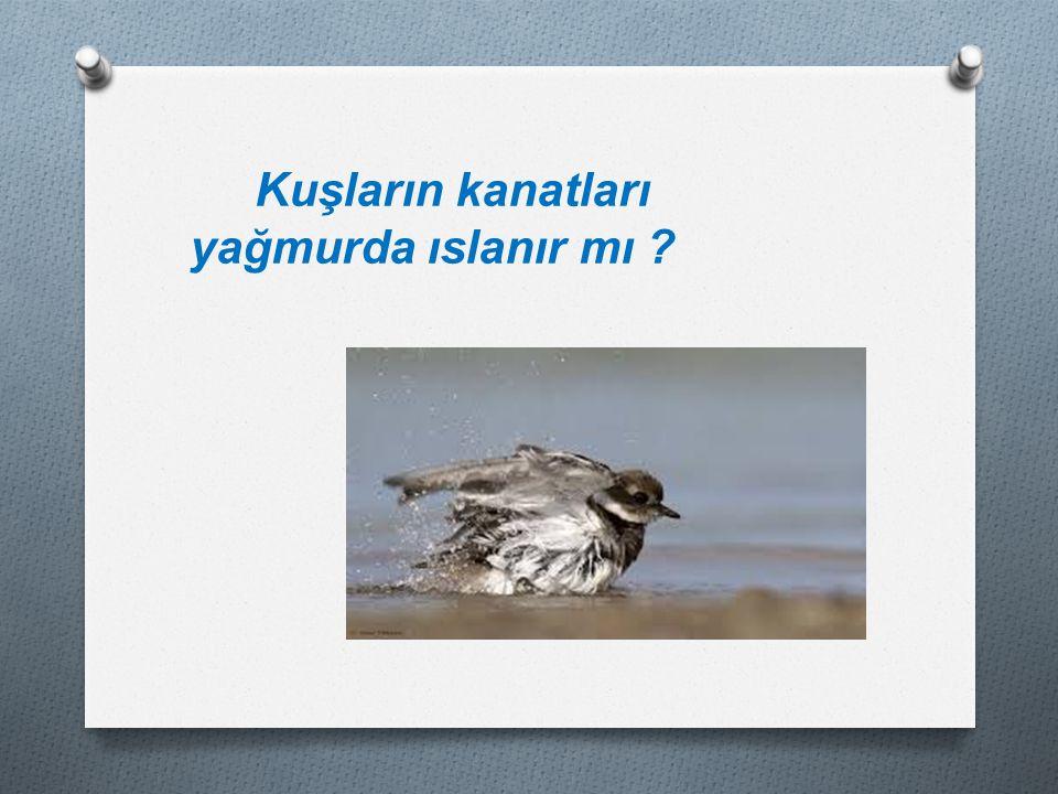 Kuşların kanatları yağmurda ıslanır mı