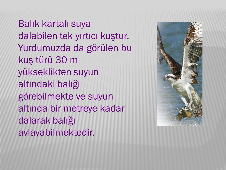 Balık kartalı suya dalabilen tek yırtıcı kuştur