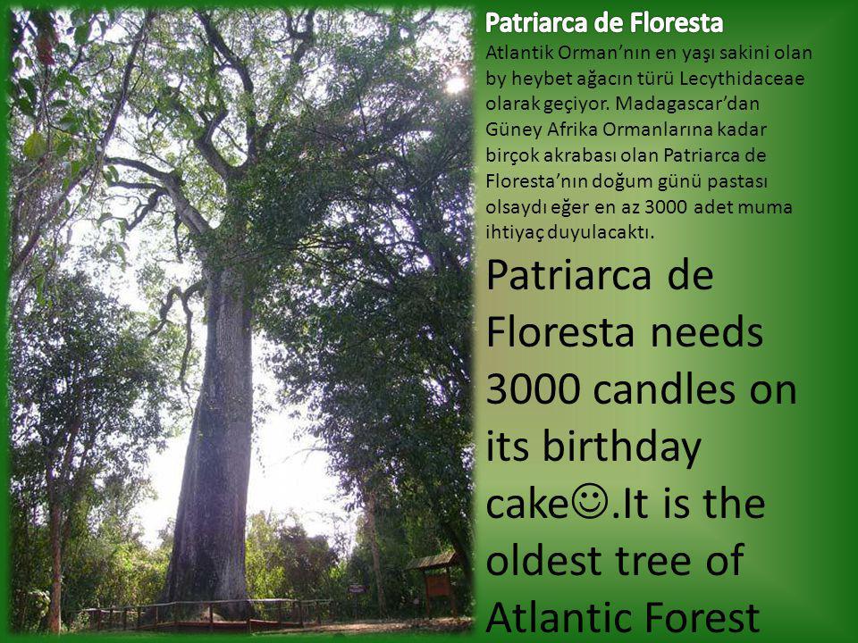 Patriarca de Floresta Atlantik Orman'nın en yaşı sakini olan by heybet ağacın türü Lecythidaceae olarak geçiyor. Madagascar'dan Güney Afrika Ormanlarına kadar birçok akrabası olan Patriarca de Floresta'nın doğum günü pastası olsaydı eğer en az 3000 adet muma ihtiyaç duyulacaktı.