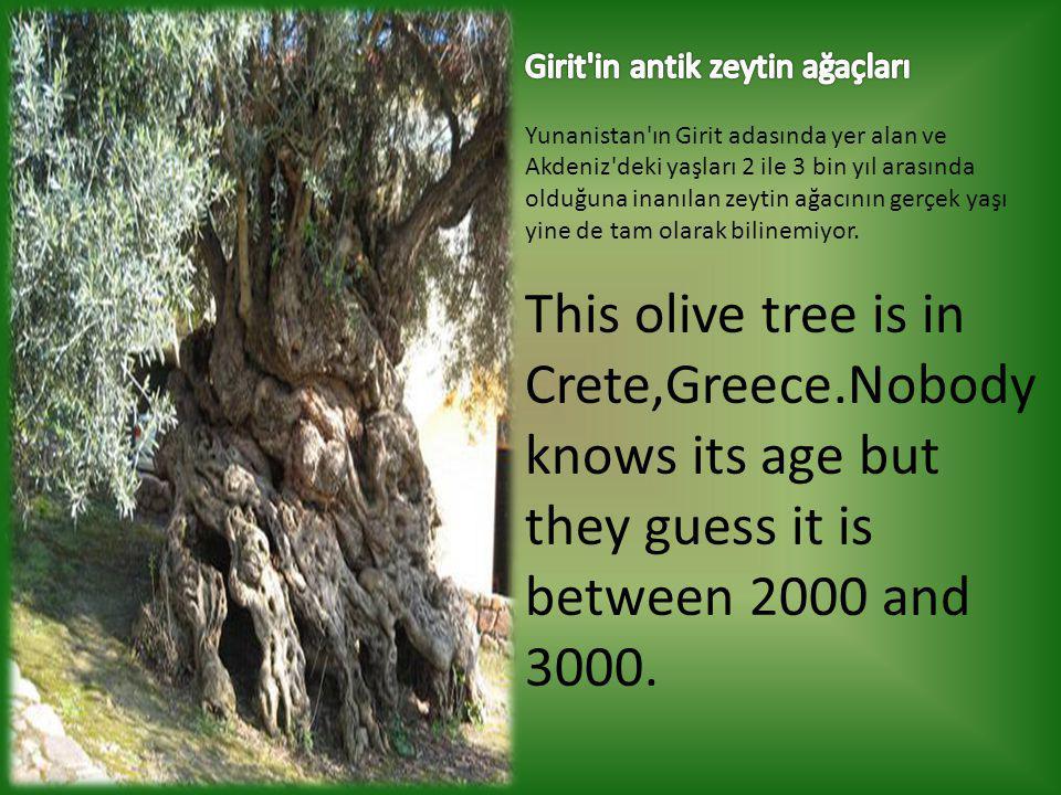 Girit in antik zeytin ağaçları Yunanistan ın Girit adasında yer alan ve Akdeniz deki yaşları 2 ile 3 bin yıl arasında olduğuna inanılan zeytin ağacının gerçek yaşı yine de tam olarak bilinemiyor.