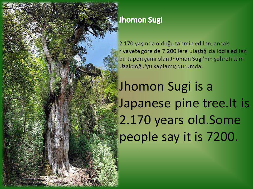 Jhomon Sugi 2.170 yaşında olduğu tahmin edilen, ancak rivayete göre de 7.200 lere ulaştığı da iddia edilen bir Japon çamı olan Jhomon Sugi'nin şöhreti tüm Uzakdoğu yu kaplamış durumda.