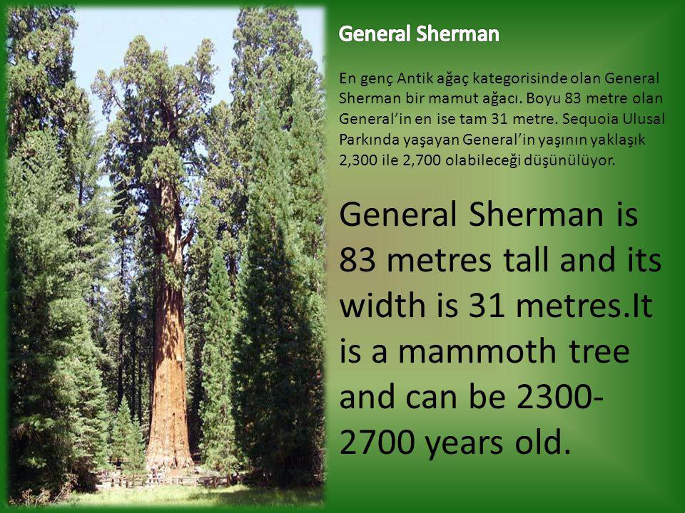 General Sherman En genç Antik ağaç kategorisinde olan General Sherman bir mamut ağacı. Boyu 83 metre olan General'in en ise tam 31 metre. Sequoia Ulusal Parkında yaşayan General'in yaşının yaklaşık 2,300 ile 2,700 olabileceği düşünülüyor.