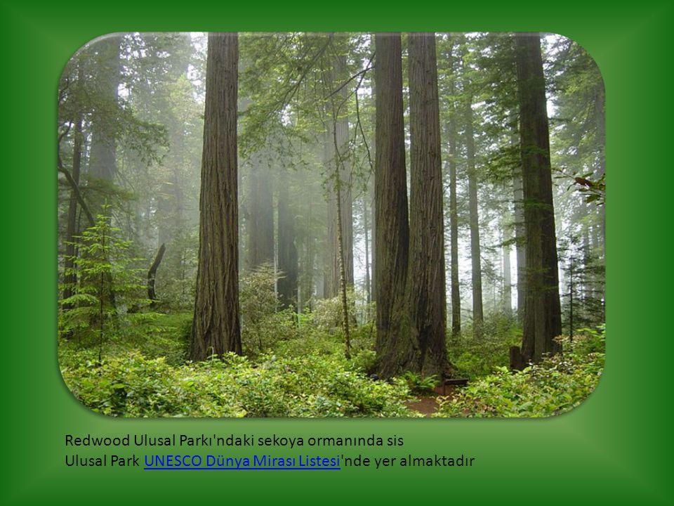 Redwood Ulusal Parkı ndaki sekoya ormanında sis Ulusal Park UNESCO Dünya Mirası Listesi nde yer almaktadır