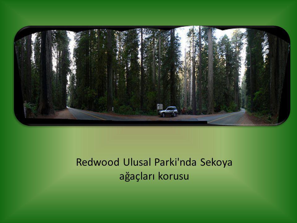 Redwood Ulusal Parki nda Sekoya ağaçları korusu