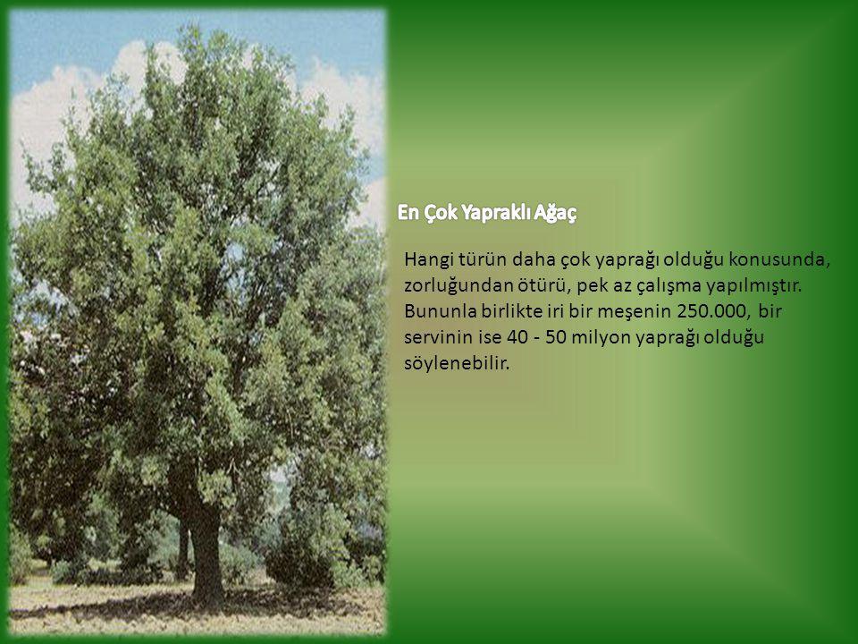 En Çok Yapraklı Ağaç