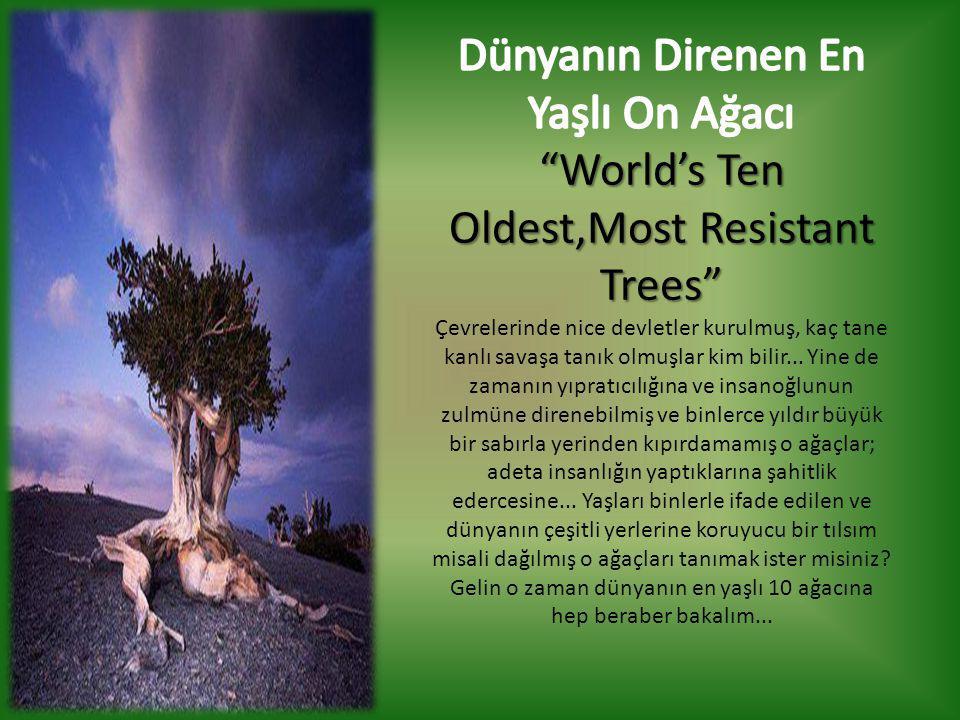 Dünyanın Direnen En Yaşlı On Ağacı
