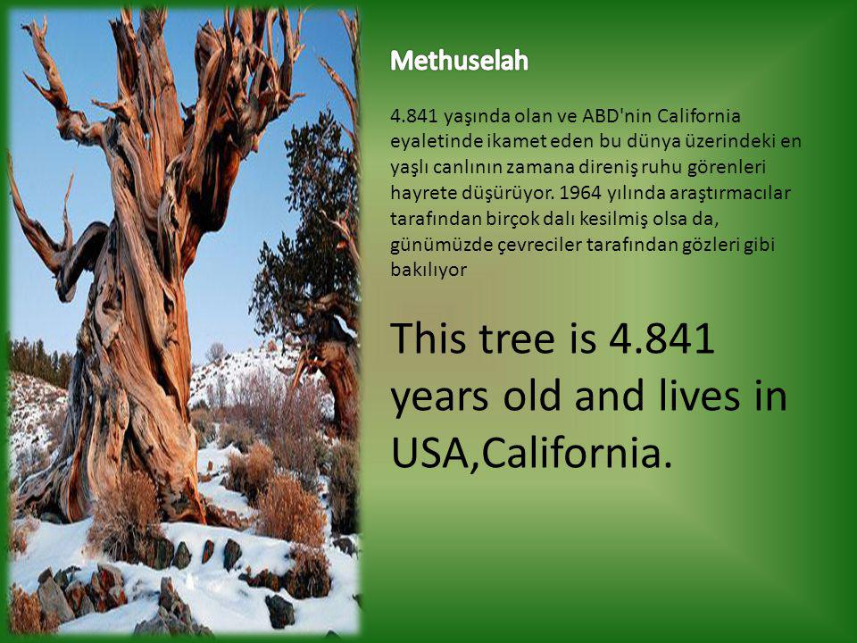This tree is 4.841 years old and lives in USA,California.